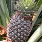 one pineapple